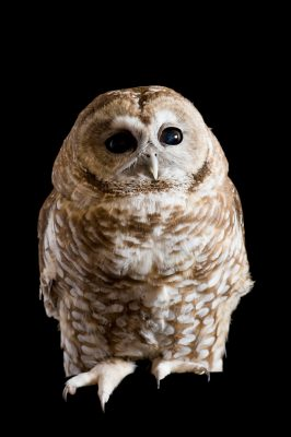 A federally threatened Mexican spotted owl (Strix occidentalis lucida).