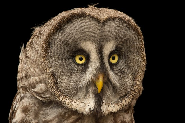 Photo: A Eurasian great grey owl (Strix nebulosa lapponica) from the Plzen Zoo in the Czech Republic.