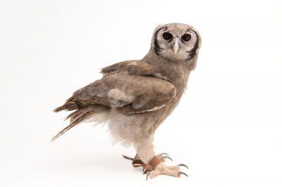 Photo: A year-old milky eagle owl at Tracy Aviary.