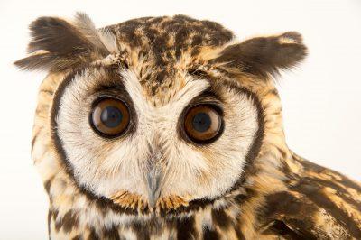 A striped owl (Asio clamator forbesi) at Parque Jaime Duque near Bogota, Colombia.