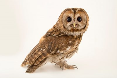 A tawny owl or brown owl (Strix aluco aluco) from the Budapest Zoo.