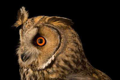 European long-eared owl (Asio otus) from the Budapest Zoo.