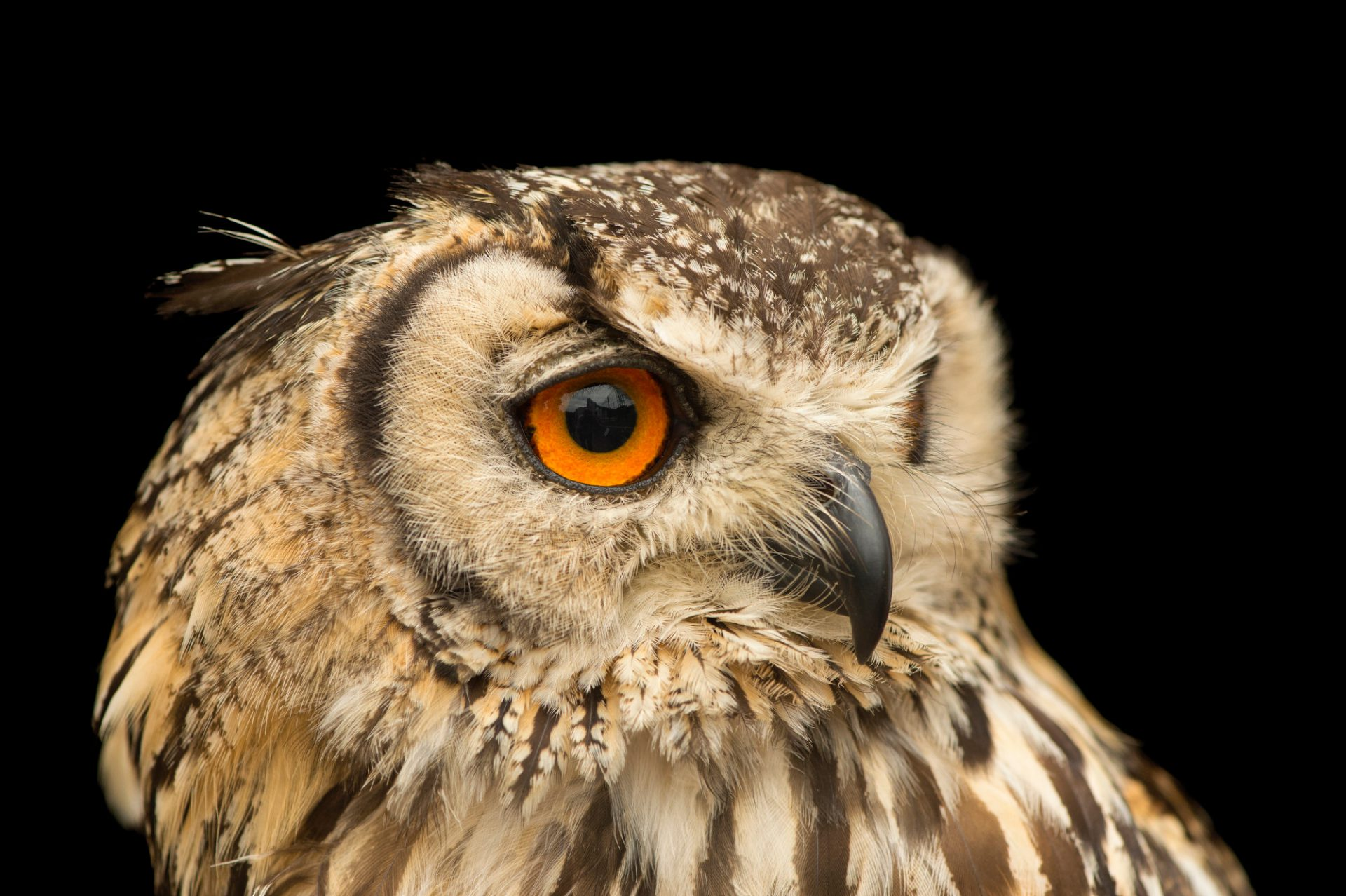 Photo: A rock eagle-owl (Bubo bengalensis) at the Plzen Zoo in the Czech Republic.