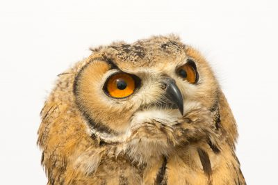 Photo: A juvenile rock eagle-owl (Bubo bengalensis) at the Plzen Zoo in the Czech Republic.