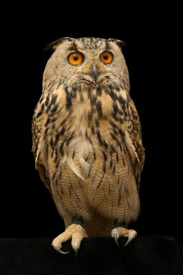 Picture of a Eurasian eagle owl (Bubo bubo omissus) at the Plzen Zoo in the Czech Republic.