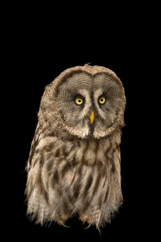 Photo: Eurasian great grey owl (Strix nebulosa lapponica) from the Plzen Zoo in the Czech Republic.