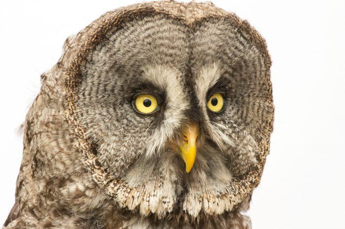 Photo: Eurasian great grey owl (Strix nebulosa lapponica) from Plzen Zoo in the Czech Republic.