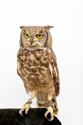 Photo: Spotted eagle owl (Bubo africanus) from Plzen Zoo in the Czech Republic.