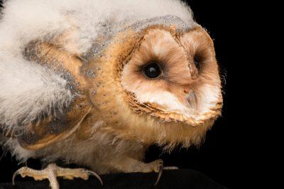 Photo: A fledgling European barn owl (Tyto alba guttata) from the Plzen Zoo in the Czech Republic.