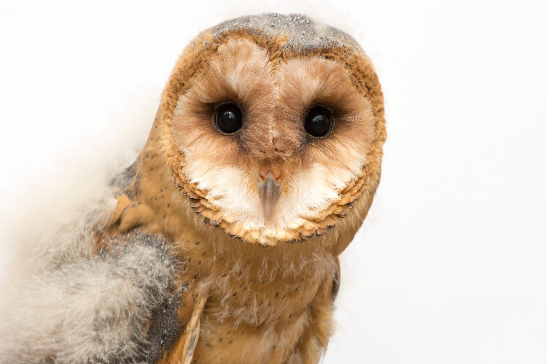 Photo: A fledgling European barn owl (Tyto alba guttata) from the Plzen Zoo in the Czech Republic.
