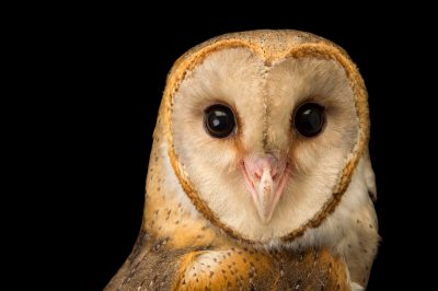 Photo: Andaman barn owl (Tyto alba deroepstorffi) at Kamla Nehru Zoological Garden, Ahmedabad, India.