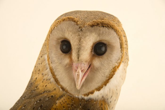 Photo: Andaman barn owl (Tyto alba deroepstorffi) at Kamla Nehru Zoological Garden, Ahmedabad, India.