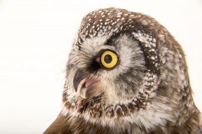 A boreal owl (Aegolius funereus richardsoni) at the Alaska Zoo.