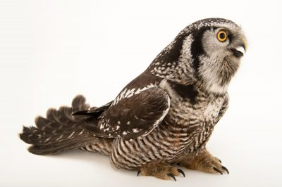 Photo: A northern hawk owl (Surnia ulula caparoch) at the Alaska Zoo.