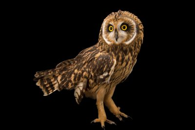 A short-eared owl (Asio flammeus flammeus) at the Alaska Zoo.
