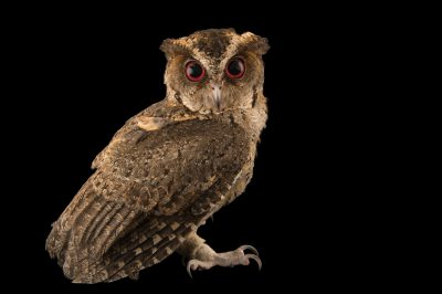 Photo: A Philippine scops owl (Otus megalotis) at the Plzen Zoo in the Czech Republic.