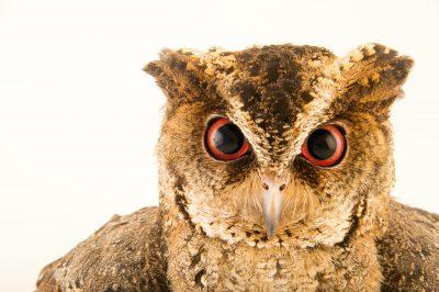 Photo: A Philippine scops owl (Otus megalotis) at the Plzen Zoo in the Czech Republic.