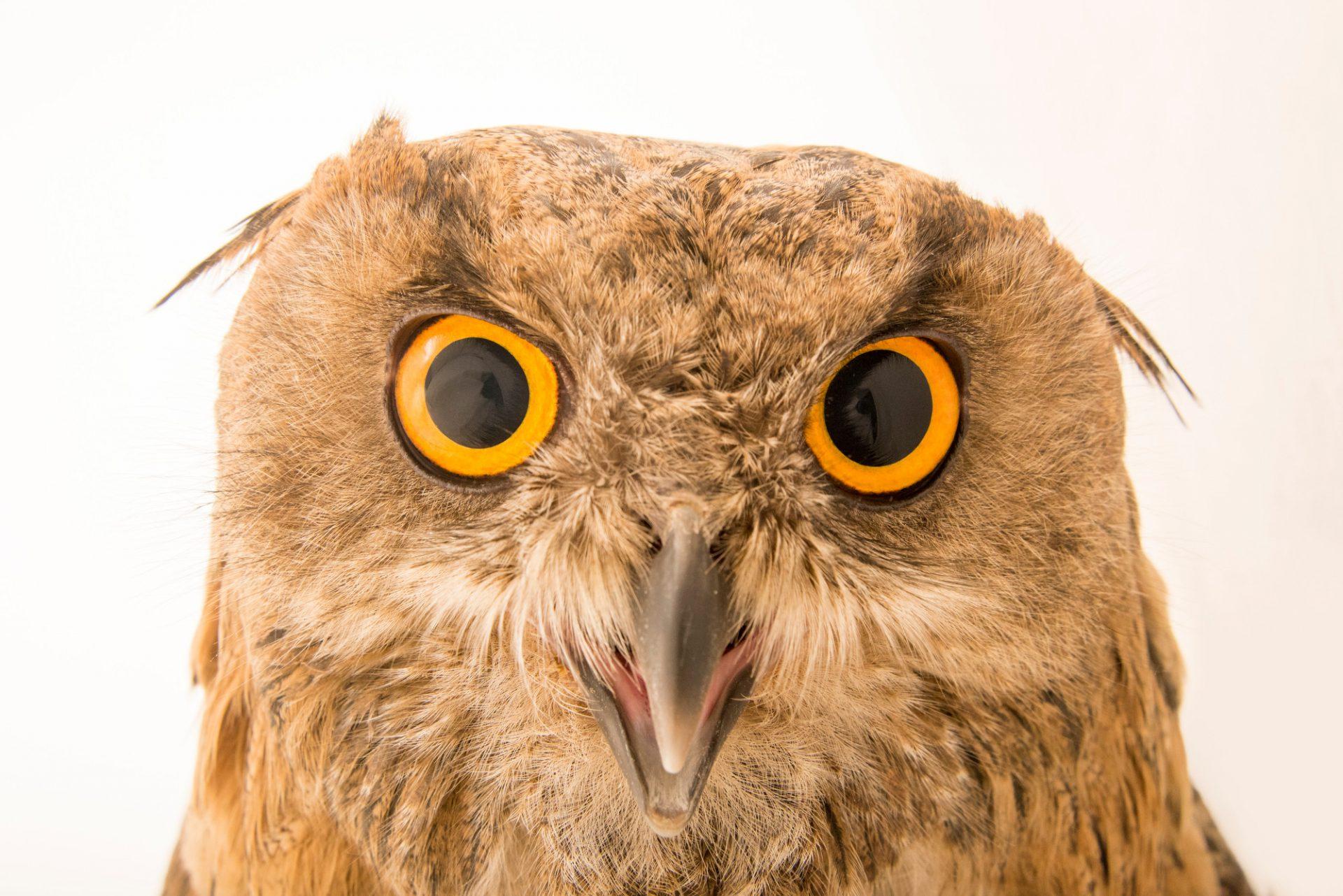 Photo: An Eurasian eagle owl (Bubo bubo sibiricus) at Parco Natura Viva in Bussolengo, Italy.
