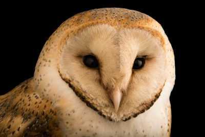 Photo: An European barn owl (Tyto alba) at Parco Natura Viva in Bussolengo, Italy.