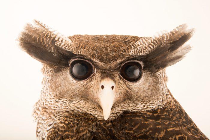 A Malay eagle owl (Bubo sumatranus sumatranus) at Jurong Bird Park.