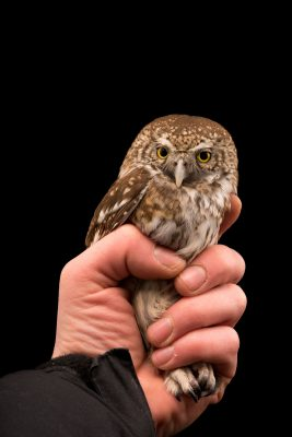 Photo: Eurasian pygmy owl (Glaucidium passerinum passerinum) at Alpenzoo in Innsbruck, Austria.