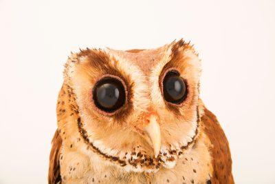 Photo: A common bay owl, Phodilus badius badius, at Penang Bird Park.