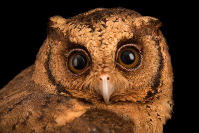 Photo: A sunda scops-owl (Otus lempiji lempiji) at Penang Bird Park.