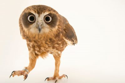 Photo: Southern boobook (Ninox boobook) at the Plzen Zoo in the Czech Republic.
