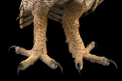 The talons of a South American great horned owl (Bubo virginianus nacurutu) at Parque Jaime Duque near Bogota, Colombia.