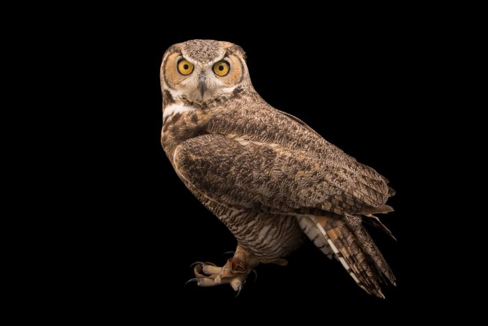 Photo: Rocky Mountains great horned owl (Bubo virginianus pinorum) at Southwest Wildlife Conservation Center.