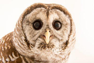Barred owl (Strix varia georgica) at Florida Wildlife Care.
