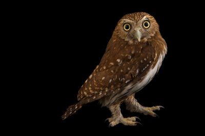Photo: Ferruginous pygmy owl (Glaucidium brasilianum) at the National Aviary of Colombia.