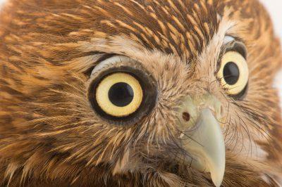 Photo: Ferruginous pygmy owl (Glaucidium brasilianum) at the National Aviary of Colombia.