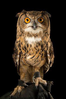 Photo: Northern eagle owl (Bubo bubo tenuipes) the Budapest Zoo.
