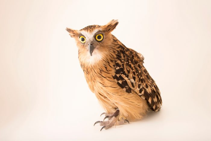 A buffy fish owl (Ketupa ketupu ketupu) at River Safari, Singapore.