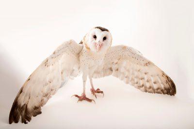 Photo: Eastern grass owl (Tyto longimembris amauronota) at Avilon Zoo.