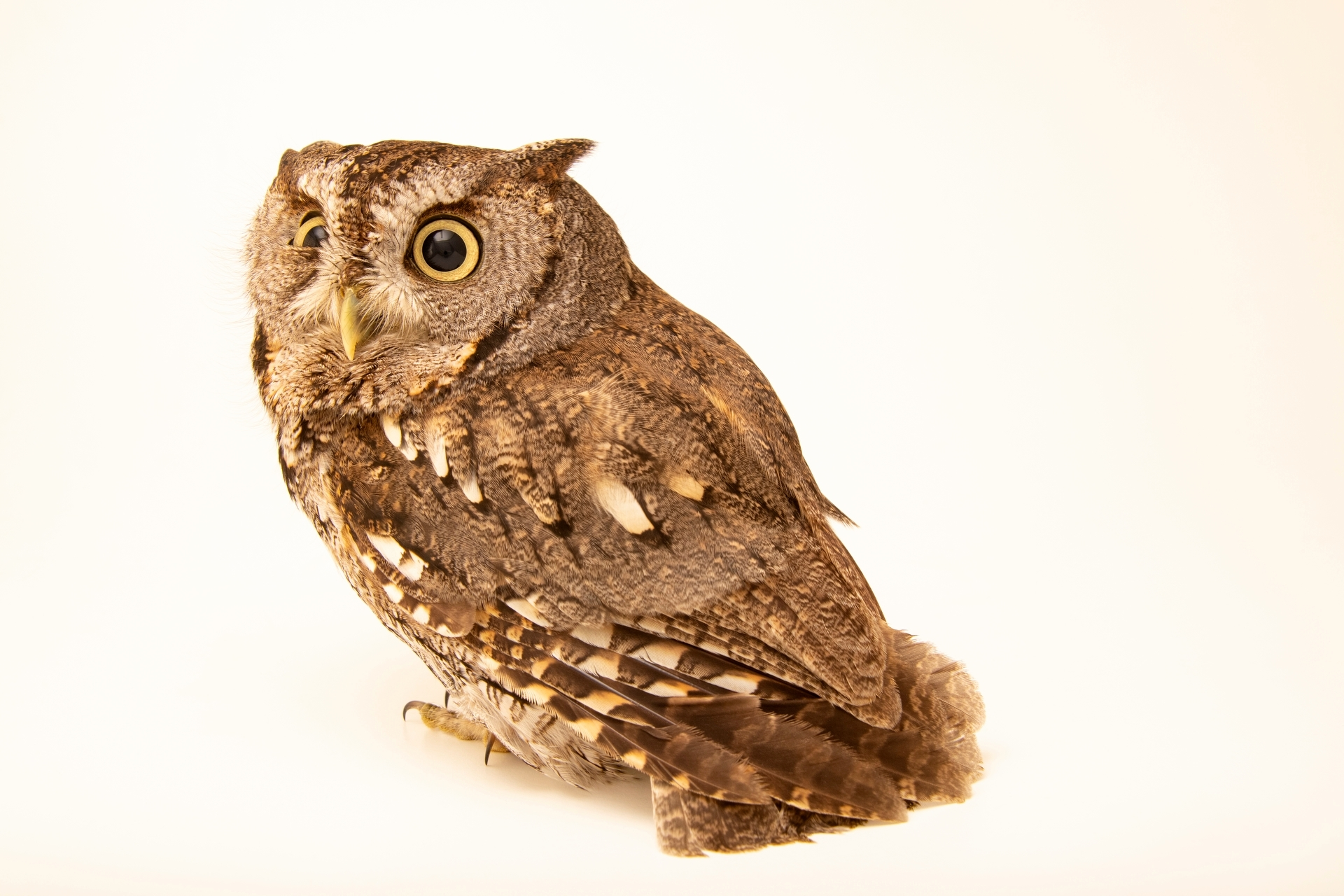 Photo: An Eastern screech owl (Megascops asio naevius) at the Carolina Waterfowl Rescue.