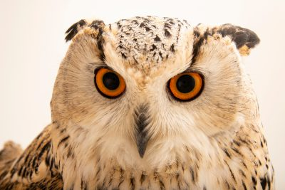 Photo: Western Siberian eagle owl (Bubo bubo sibiricus) in Monticello Center in Italy.