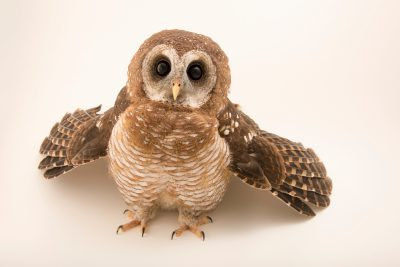 Photo: African wood owl (Strix woodfordii) at Monticello Center in Italy.