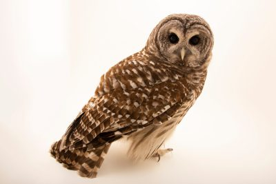 Photo: Barred owl (Strix varia varia) at Monticello Center in Italy.