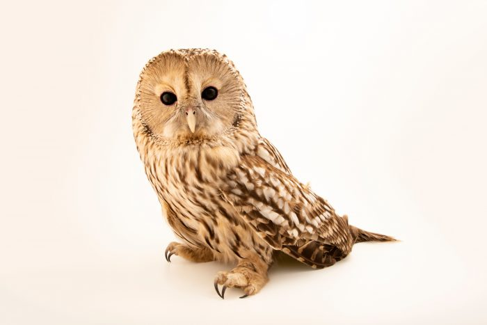 Photo: Ural owl (Strix uralensis macroura) at Monticello Center in Italy.
