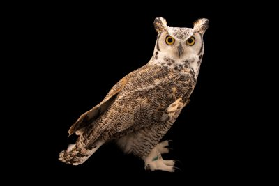 Photo: Tundra great horned owl (Bubo virginianus subarticus) at Monticello Center in Italy.