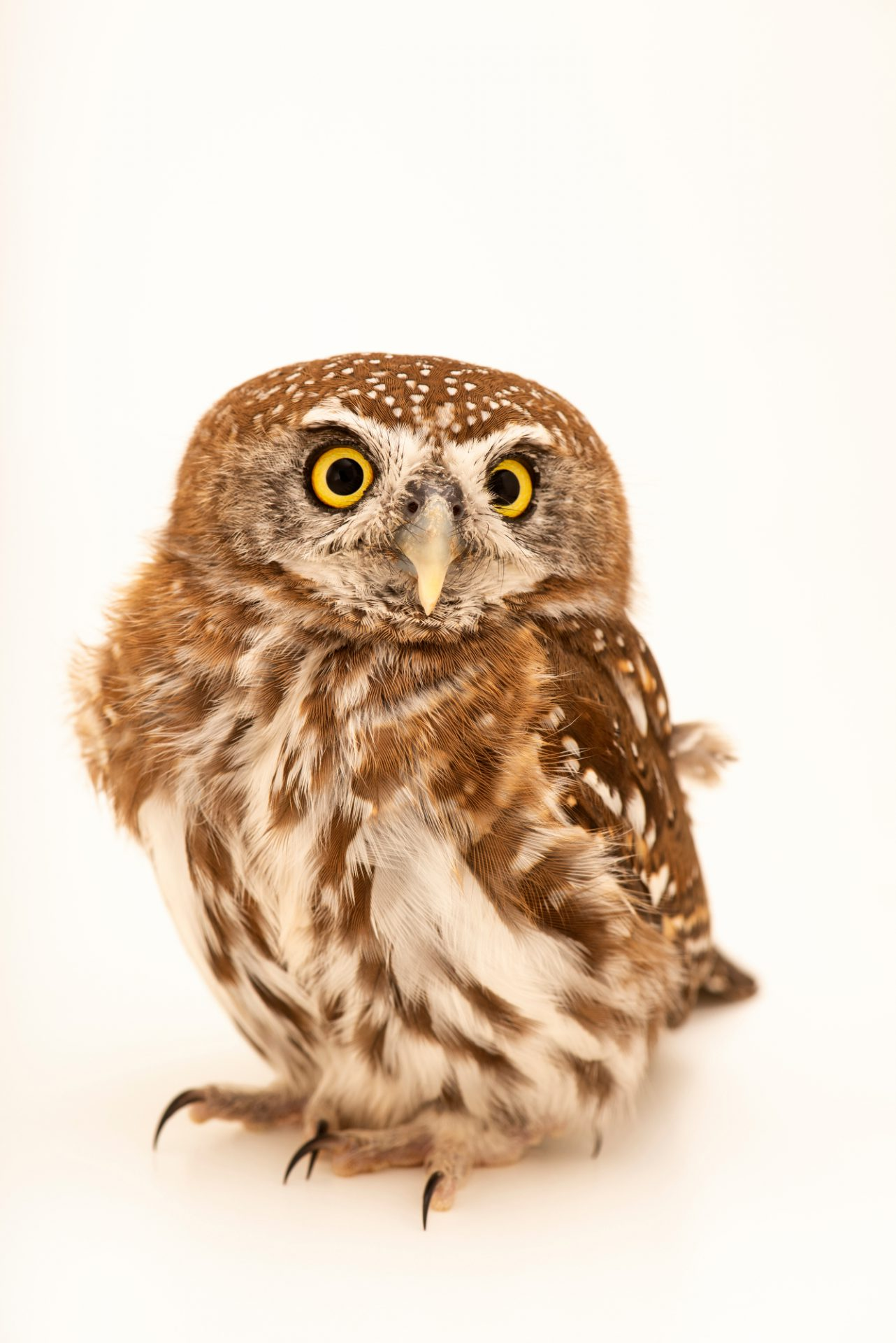 Photo: Pearl-spotted owlet (Glaucidium perlatum) at Monticello Center in Italy.