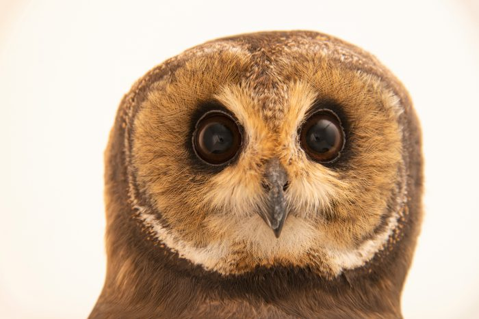 A marsh owl (Asio capensis capensis) at Monticello Center in Italy.