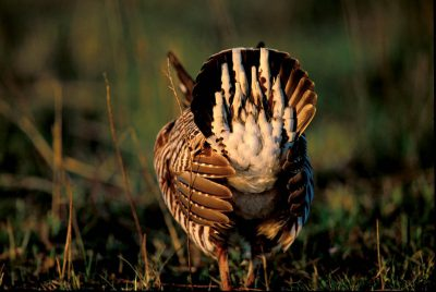 Photo: Male greater prairie-chicken booming.
