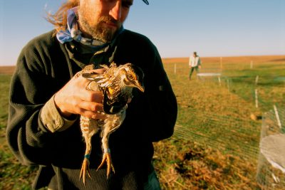Photo: A biologist from the Sutton Avian Research Center in Bartlesville, Oklahoma, handles a male prairie chicken.