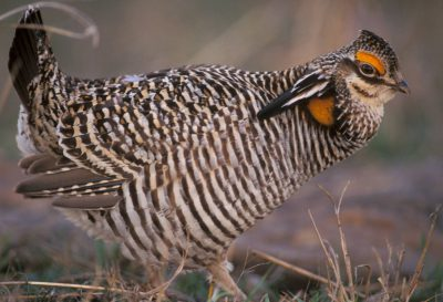 Photo: Male greater prairie-chicken booming in Oklahoma.