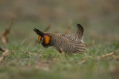 Vulnerable (IUCN) greater prairie-chickens (Tympanuchus cupido) display on a breeding ground or lek.