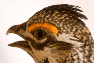 A vulnerable (IUCN) greater prairie-chicken (Tympanuchus cupido.)
