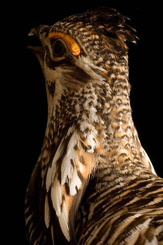 A vulnerable (IUCN) greater prairie-chicken (Tympanuchus cupido.)